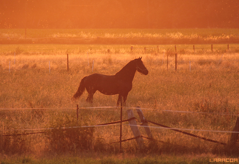 Sonnenpferd von Laracoa